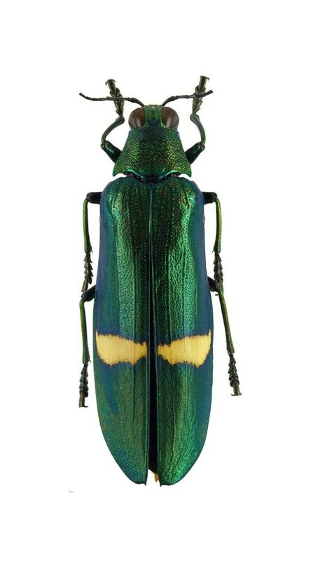 Chrysochroa descarpentriesi