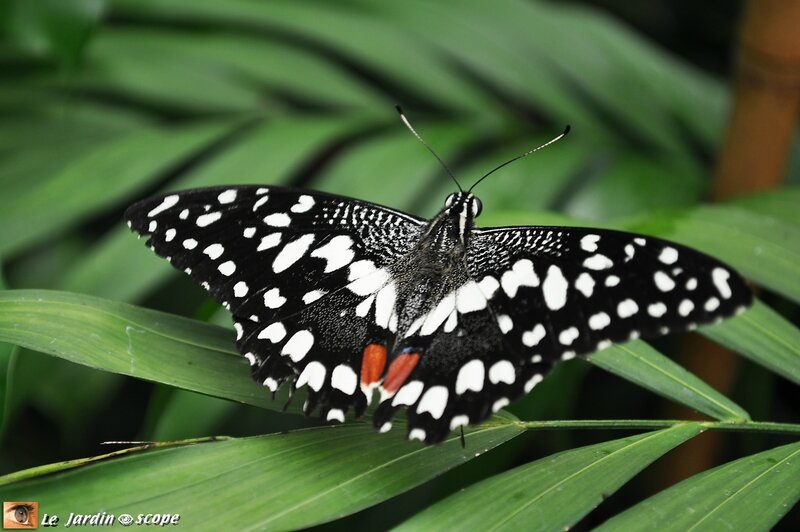 Papilio demoleus • Papilionidae