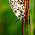 papillon mont césar30
