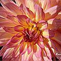 ♥ la ronde fleurie du mois ; les dahlias ♥