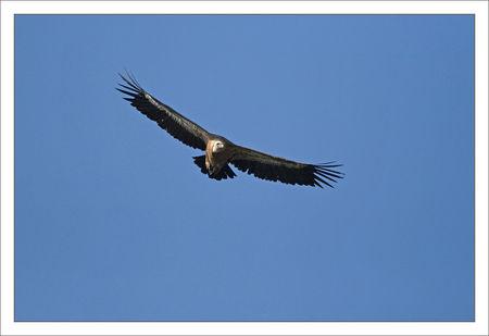 Guara_Lecina_vautour_approche_bleu_3_100709