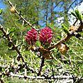 P1050610 fleur mâle et femelle du méléze