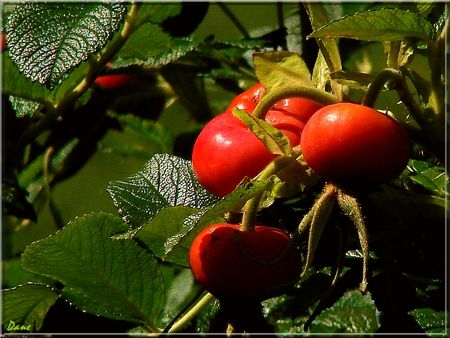1_fruits_rugosa