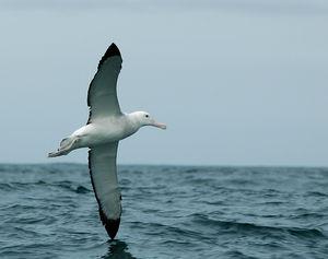 albatrospfjlveqf