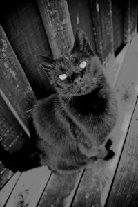 black_cat_peti_deuxmont