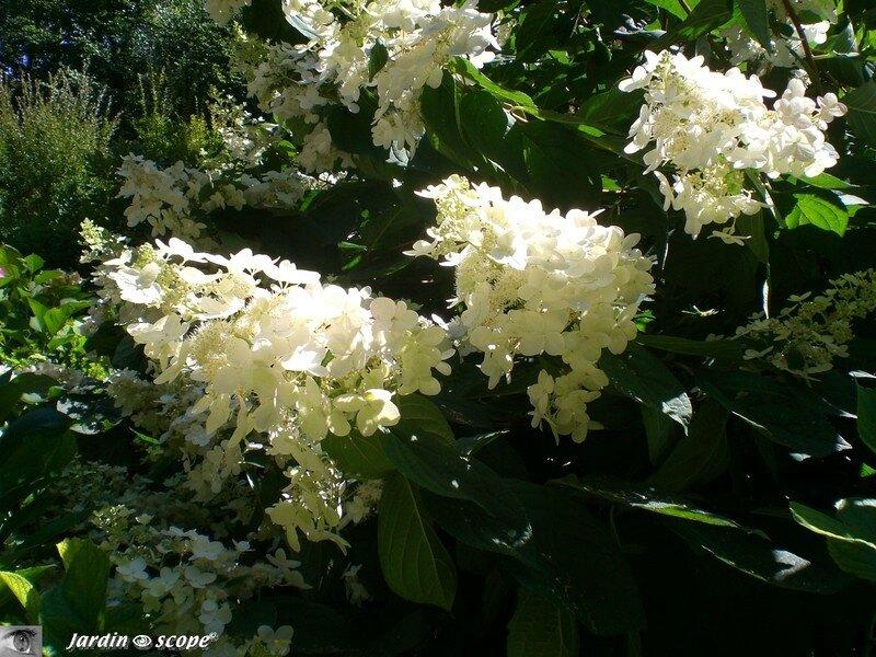 Hydrangea_blanc