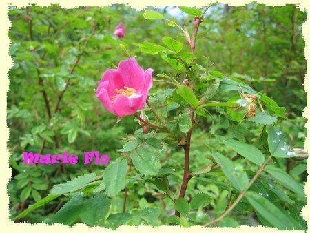 Fleurs_de_montagne_J