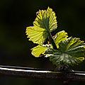 Réveil de la vigne