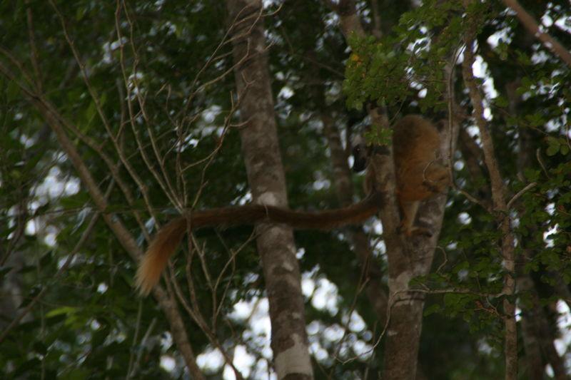 Lémuriens (descente de la Tsiribinha) 2