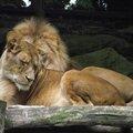Le lion d'afrique du sud