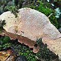 Hapalopilus nidulans (1)