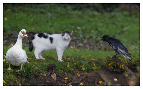 ville lulu chat corneille canard 1 211012