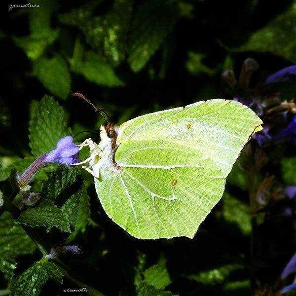 140831-papillon