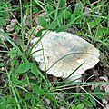 Russula virescens (1)