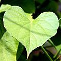 coeur feuille jardin des plantes_3429
