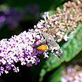 Moro sphinx (Macroglossum stellatarum) sur Buddleia