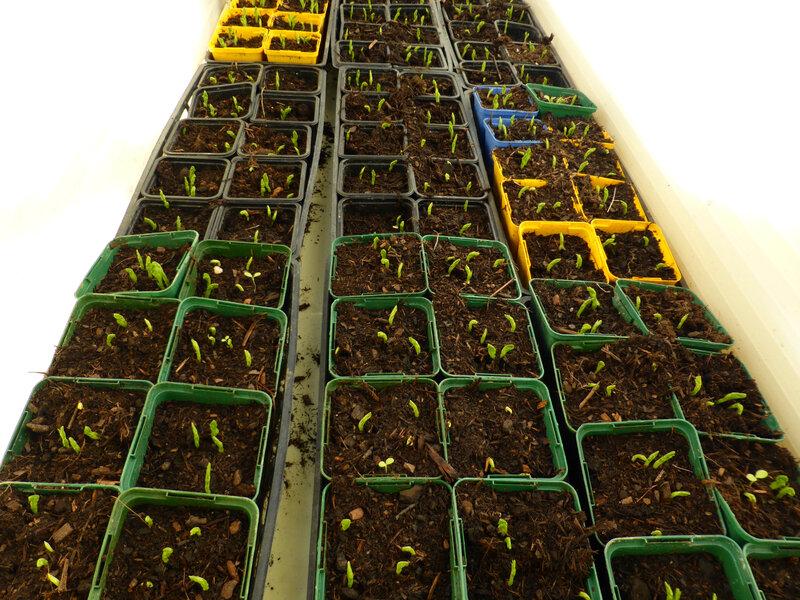 23-semis, petits pois, échalions, céléri,