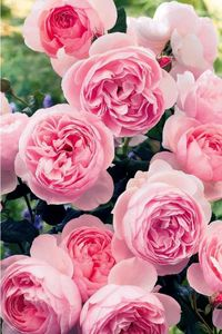 rosier_willemotion_rose_r0940260745_0