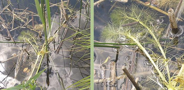 tiges feuillées courtes submergées formées de lanières linéaires