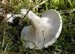 Clitocybe