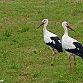 Cigogne blanche • Ciconia ciconia • famille des Ciconiidae