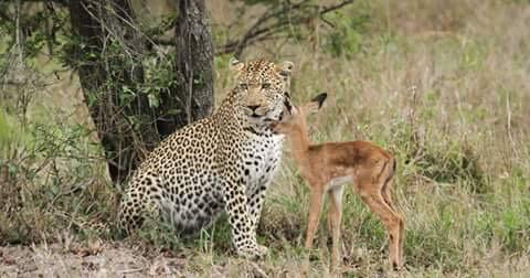 léopard et gazelle
