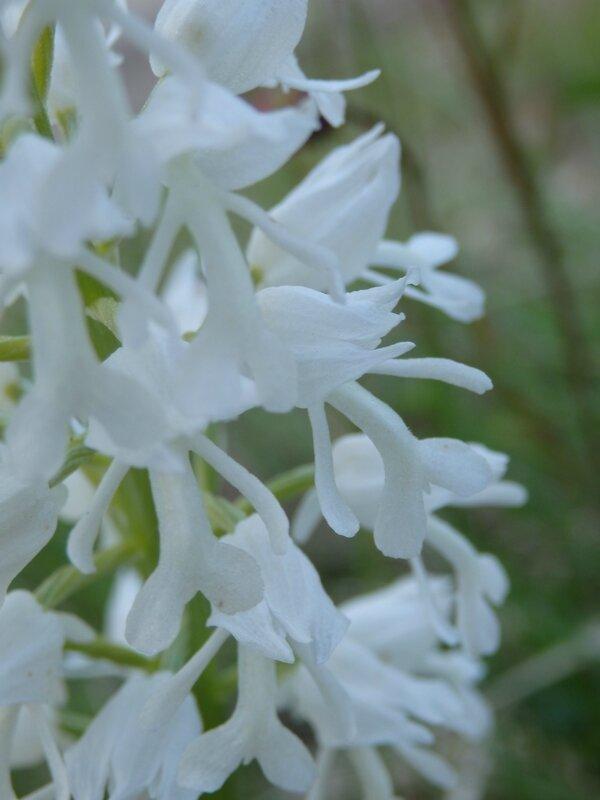 orchis militaire albinos (3)