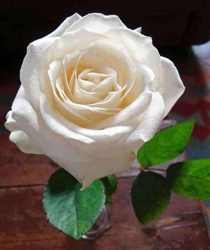 rose blanche