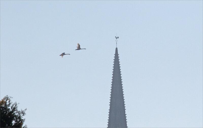 ville clocher coq oiseaux cygnes 230219 1