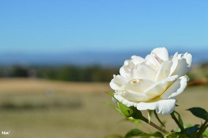 180923_peyrus_roses_2