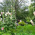- roses tremieres et cornouiller -