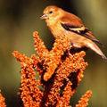 Chardonneret en plumage