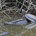 Cistude • Emys orbicularis • famille des Emydidae