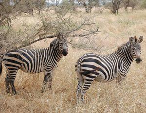 080714_zebres