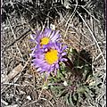 Parry's Townsend Daisy (Townsendia parryi)