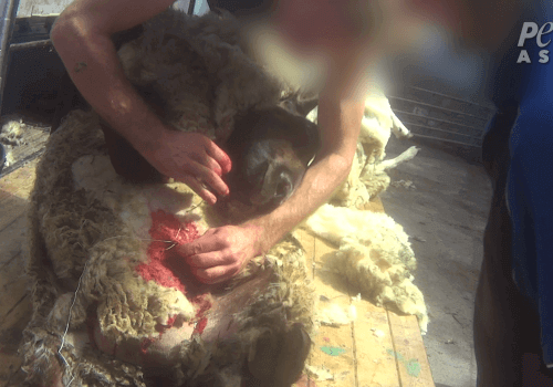 PETA-Asia-Wool-Sheep-Sew-1