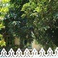 derrière le manguier
