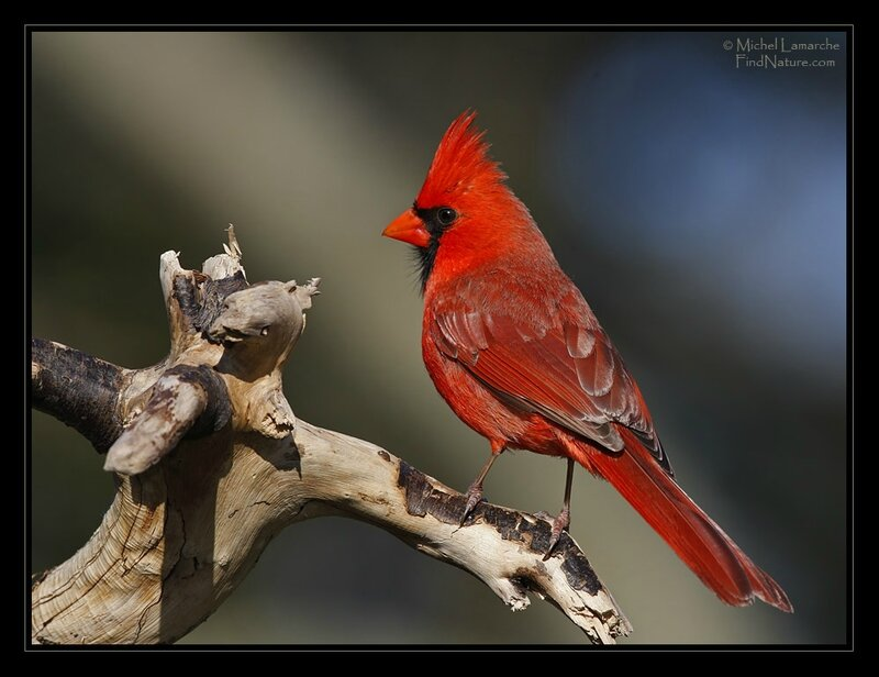 cardinal-rouge-male-20