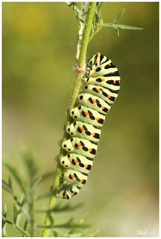 machaon15-04