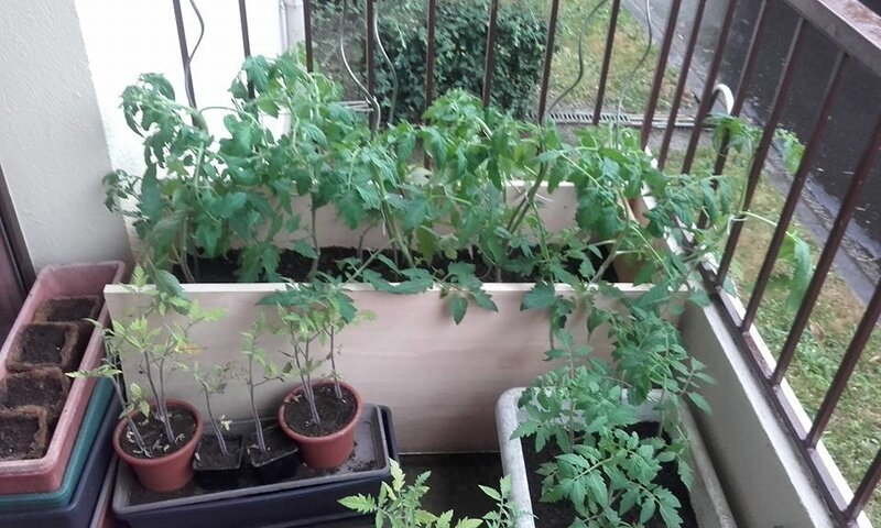18_06_balcon_de_tomates_de_Fanny__1