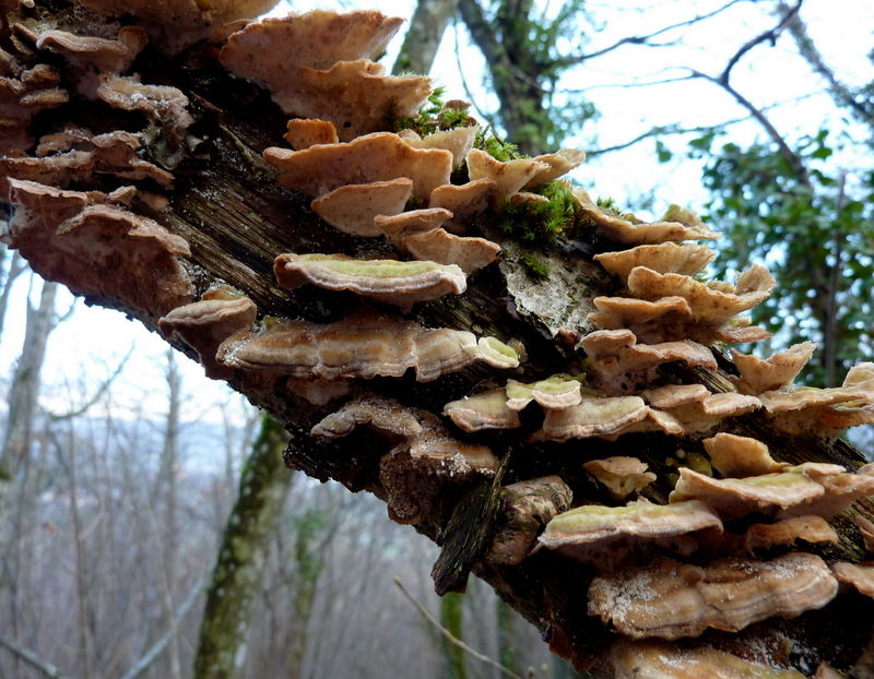 champignon (stérée hirsute ? )