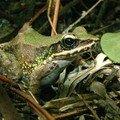 Grenouille de swinhoe/swinhoe's frog (rana swinhoana)