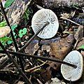 Marasmius alliaceus (2)