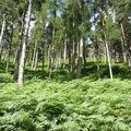 Glendalough, la forêt