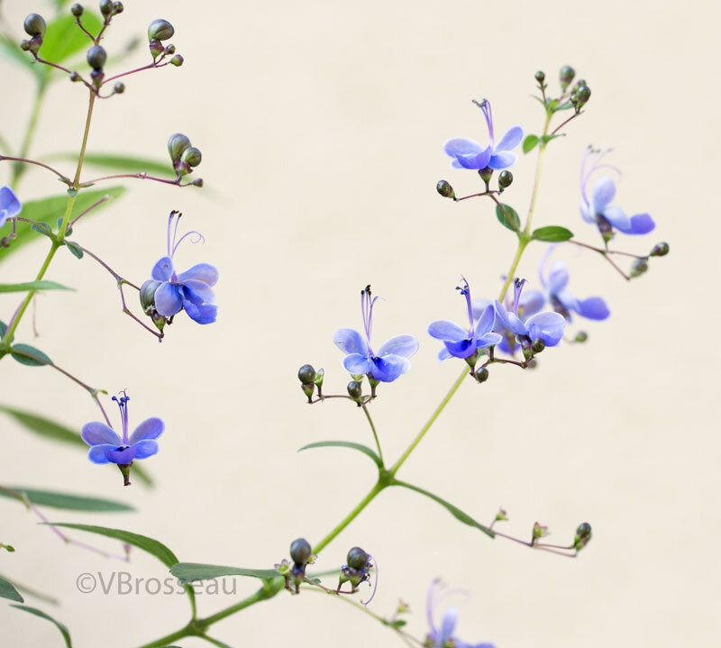 clerodendron02
