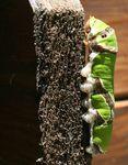 Papilio demodocus (11)
