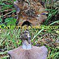 Cortinarius caerulescens
