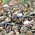 Trompettes de la mort (craterellus cornucopioïdes) au sentier Bo