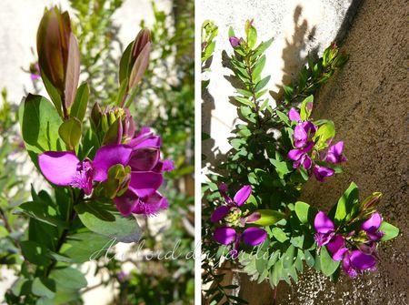 Polygala myrtifolia grandiflora (3)