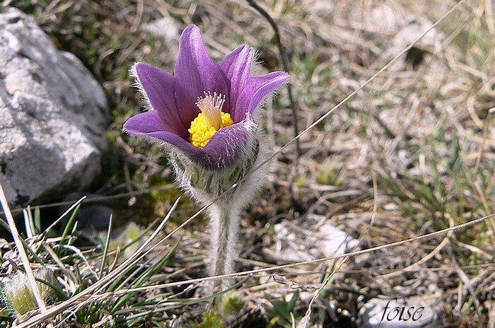 fleur solitaire dressée d'abord campanulée